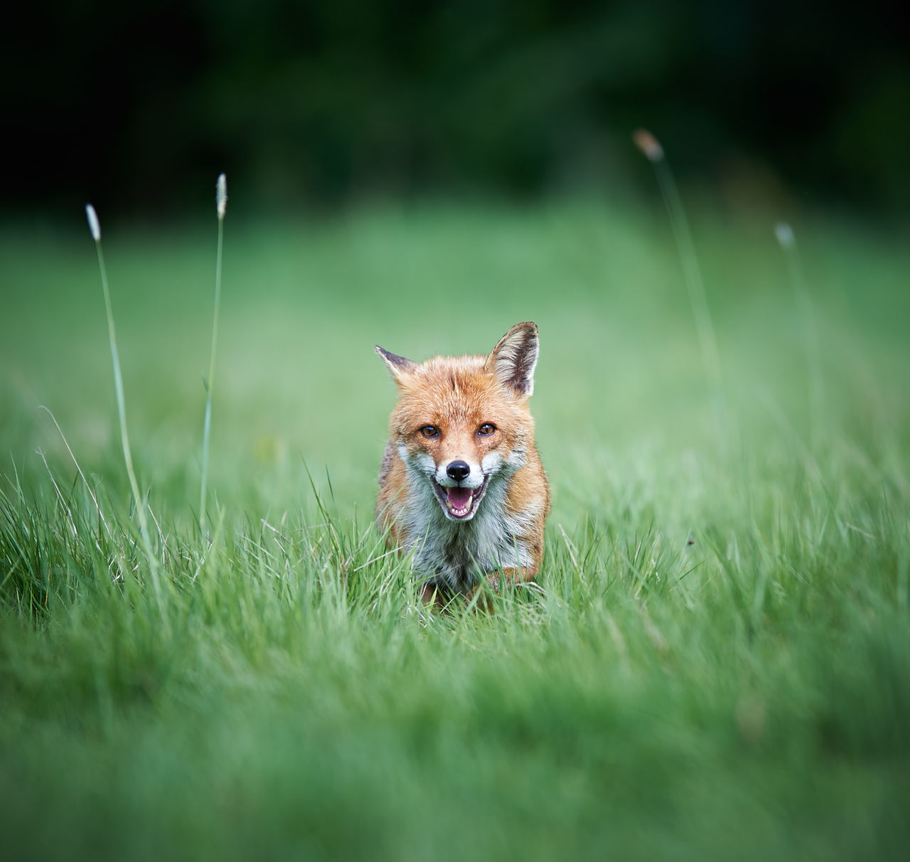 grass, one animal, animal themes, animals in the wild, selective focus, animal wildlife, fox, green color, nature, field, mammal, no people, outdoors, day, portrait, close-up