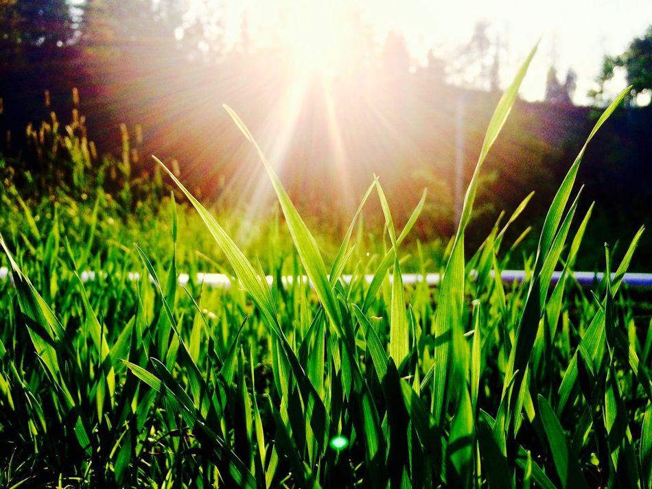 Sonnenuntergang Sonnenuntergang Sunset Sonne Sonnenschein  Grass Grassland Sunshine Sonnenstrahlen Nature Sunset_collection Sunsets Sunsetlovers Nature_collection Nature Photography Plant Plants Plant And Sun 43 Golden Moments