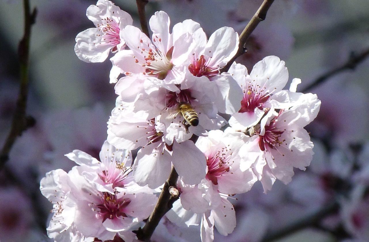 #Bees #pollination #thebeautyofpollination Beauty In Nature Blooming Blossom Branch Cherry Blossom Cherry Tree Close-up Flower Flower Head Focus On Foreground Fragility Freshness Fruit Tree Growth In Bloom Nature Petal Tree Twig White Color