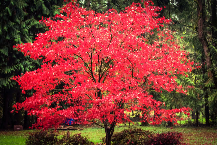 """""""Character is like a tree and reputation like a shadow. The shadow is what we think of it; the tree is the real thing."""" Abraham Lincoln Accent Tree Beautiful, Uniquely Shaped Leaves Are Bright Red From Spring Until Fall Bright Crimson Fast Growth Iromomiji = Japanese Maple Japanese Maple Tree Mother Natures Fall Native To Japan Pacific Northwest Beauty The Great Outdoors - 2016 EyeEm Awards Tranquility Weeping, Elegant, Cold, Hardy"""