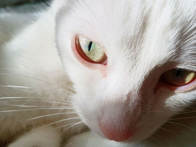 EyeEmNewHere Pets Domestic Cat Animal Themes Domestic Animals Portrait Feline Close-up Whisker Animal Head  Looking At Camera Indoors  Day One Animal No People Mammal Beauty Cats 🐱 White Cat Cute Pets Whitecat White Cat Eyes Cat Eyes Watching You Cat Eyes Cat Photography Cats 🐱