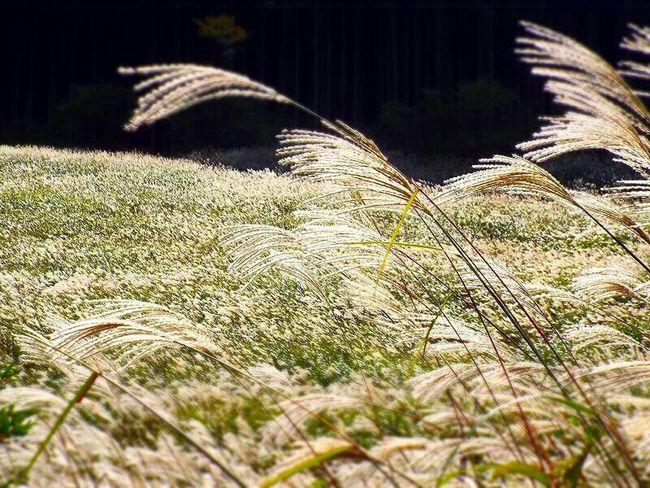 Fall Beauty Silvergrass Hakone Sengokubara Japan Photography