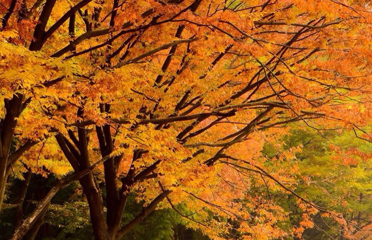 autumn, tree, nature, change, beauty in nature, orange color, branch, no people, leaf, tranquility, outdoors, growth, scenics, tranquil scene, day, close-up, sky, freshness