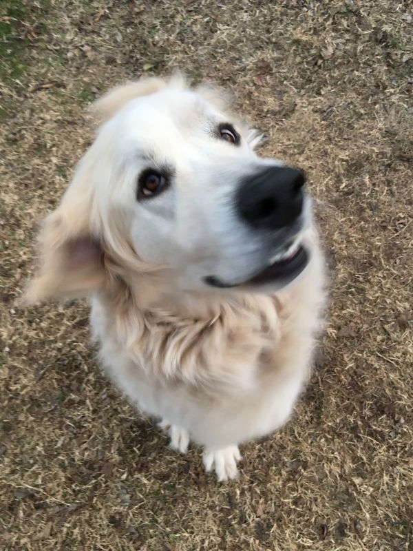 Dog Funny FUNNY ANIMALS Dogs Dog Love Bestfriend Beauty Beauty In Nature Great Pyrenees Okc Oklahoma Oklahoma City Cute Cute Pets Animals