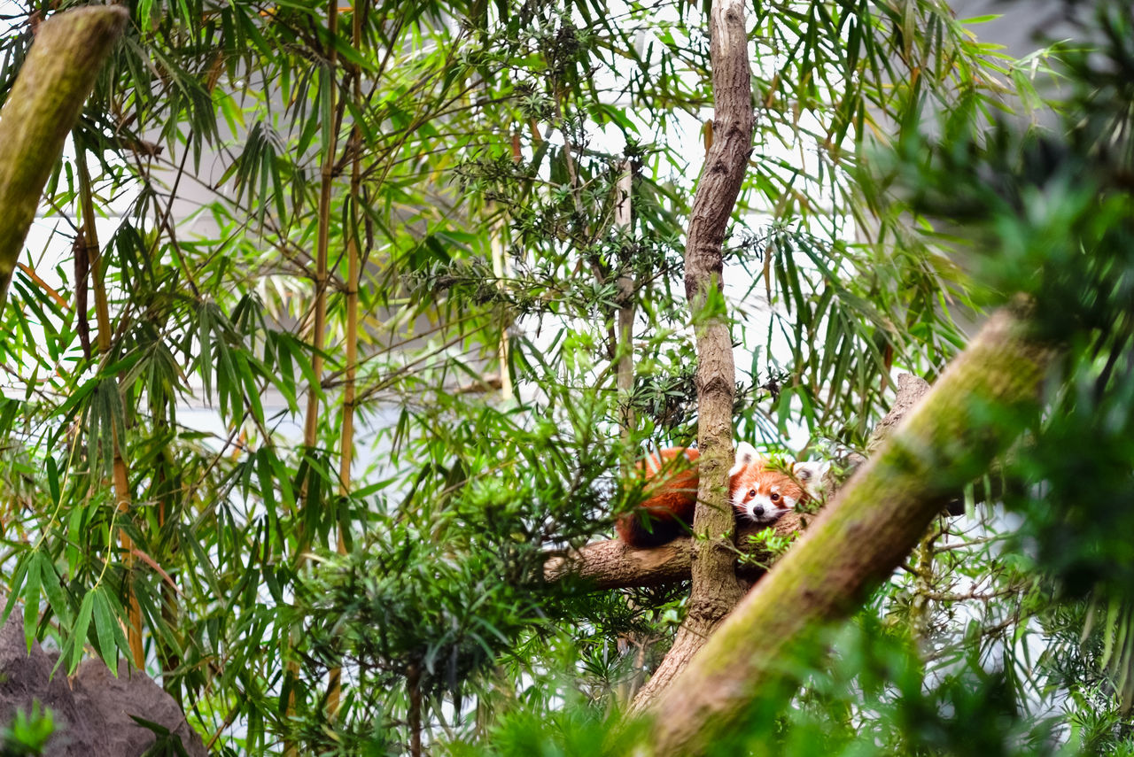 Red Panda Peeking From A Tree Animal Animal Wildlife Camouflage Hiding Leaves Nature No People Outdoors Peeking Red Panda Tree Tree Branches Tree Leaves