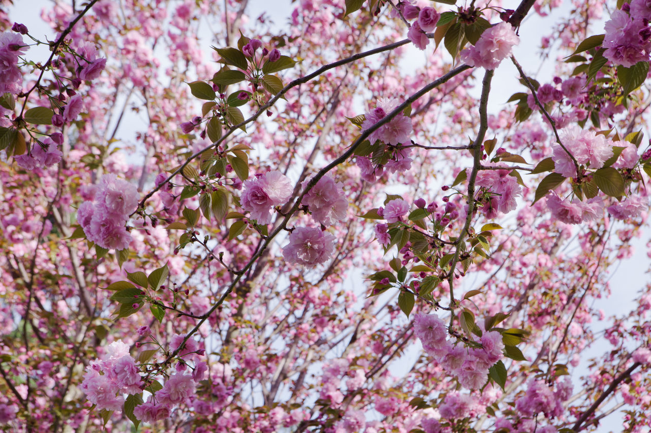 Beauty In Nature Blossom Branch Cherry Blossoms Cherry Tree Close-up Day Flower Fragility Freshness Growth Hanami Sakura  Japan Low Angle View Nature No People Outdoors Pink Pink Color Sky Springtime Tree