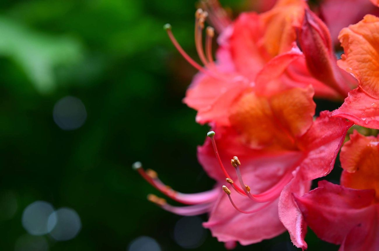 Beautiful red and orange mixture Flower Nature Beauty In Nature Pink Color Close-up Fragility Plant Flower Head Selective Focus Freshness Growth Red Outdoors No People Water Day Springtime Chester Cheshire Colorful Life