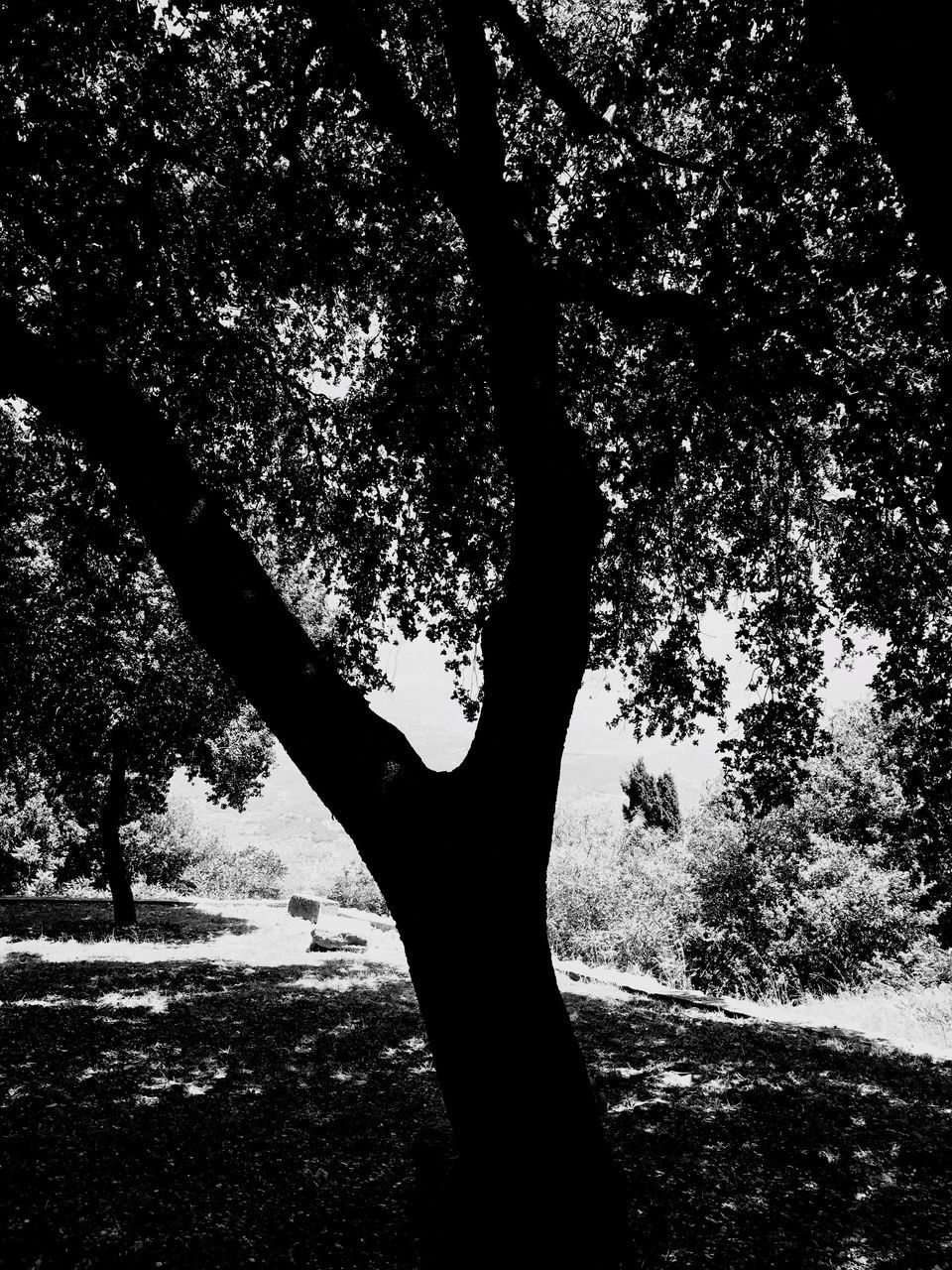 tree, outdoors, tree trunk, nature, growth, branch, tranquility, day, silhouette, beauty in nature, no people, sky, close-up
