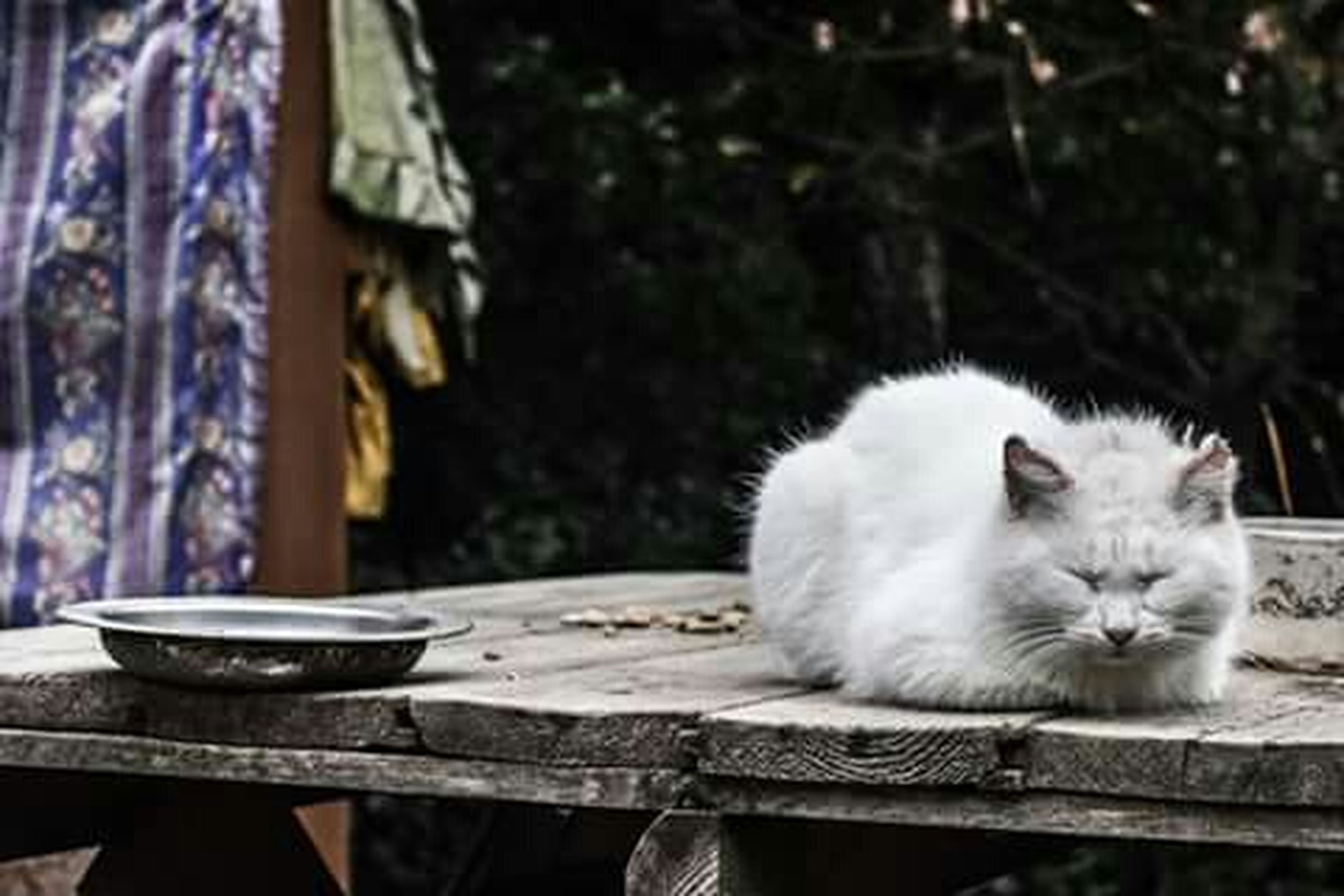 animal themes, one animal, domestic cat, cat, mammal, focus on foreground, feline, domestic animals, pets, white color, close-up, relaxation, sitting, whisker, looking at camera, portrait, outdoors, nature, day, wildlife