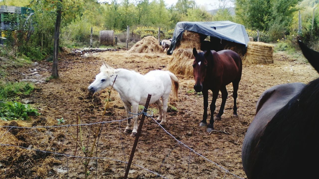 domestic animals, livestock, animal themes, mammal, field, tree, standing, day, nature, outdoors, no people