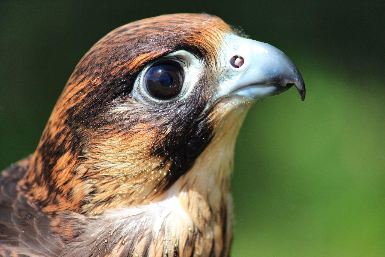 Beautiful stock photos of hawks, Animal Head, Animal Themes, Animals Hunting, Beak