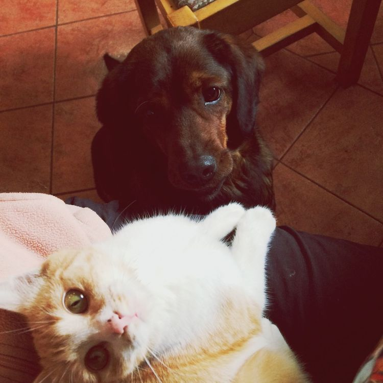 Cat And Dog Cat Watching Cat Eyes EyeEm Nature Lover Dog Look Obsessed With The Cat Animals Animal Themes Friendship Friendship Between A Dog And A Cat Focused Cat Looking At The Camera Orange Cat What Hunting Dog