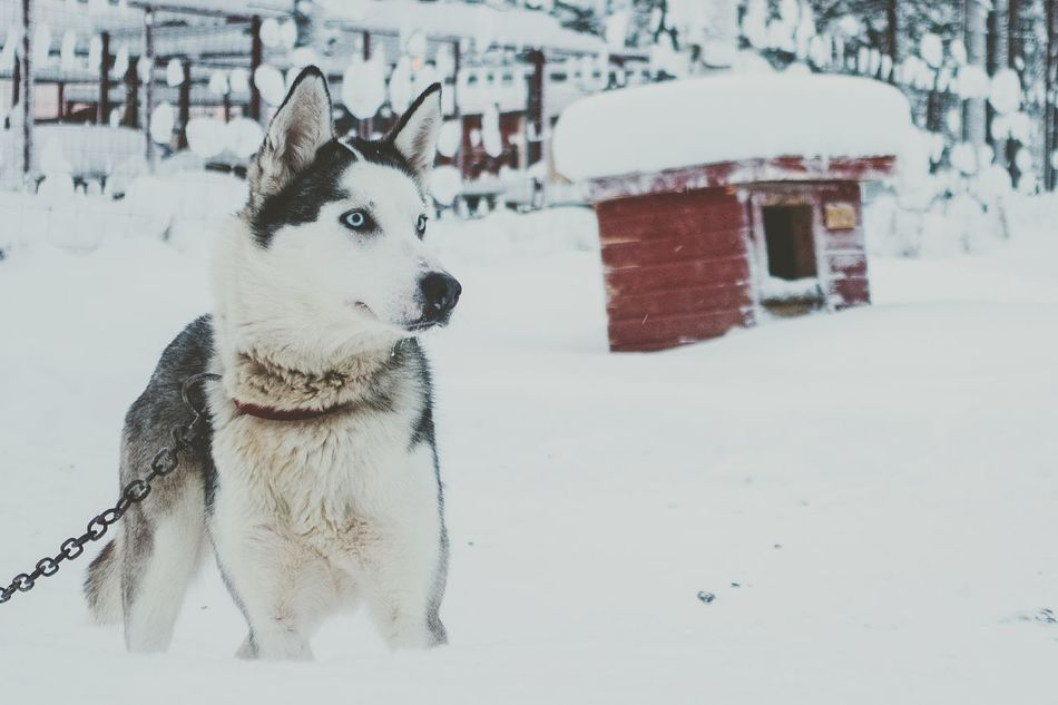 Winter Snow Cold Temperature One Animal White Color Sleddog Sledge Dog Focus On Foreground Wildlife Finland Domestic Animals Husky