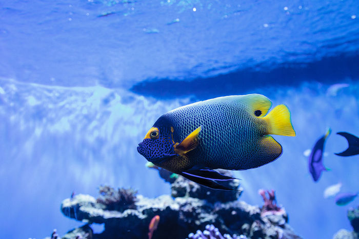 Blue faced angelfish Pomacanthus xanthometopon in a coral reef. Angelfish Animal Themes Animal Wildlife Animals In The Wild Beauty In Nature Blue Face Angelfish Blue Faced Angelfish Coral Reef Nature No People Ocean Pomacanthus Xanthometopon Reef Tank Saltwater Saltwater Aquarium Sea Sea Life Swim UnderSea Underwater Underwater Photography Water