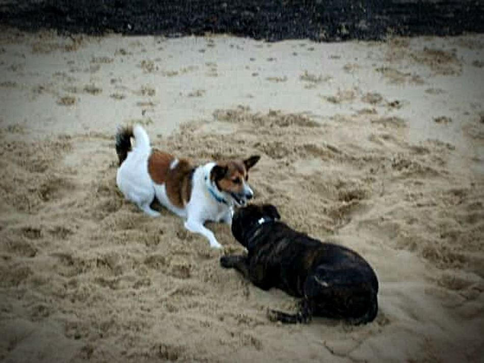 Showing Imperfection Dogslife Playing With Effects At The Beach In Sand Love Watching Great Dogs Animal Live Lovelovelove❤