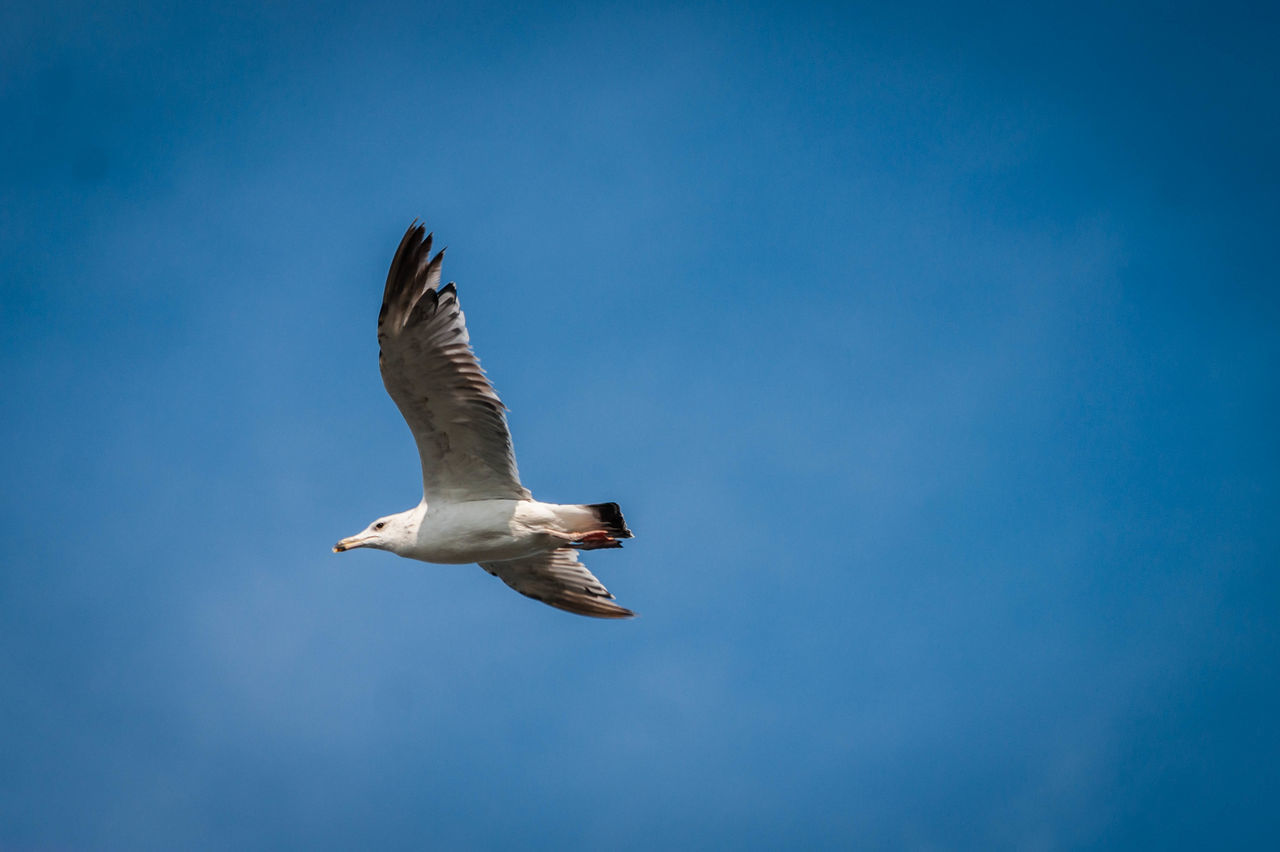 Sky Clear Sky Bird Seagull Novokuznetsk Kuzbass Siberia Russia