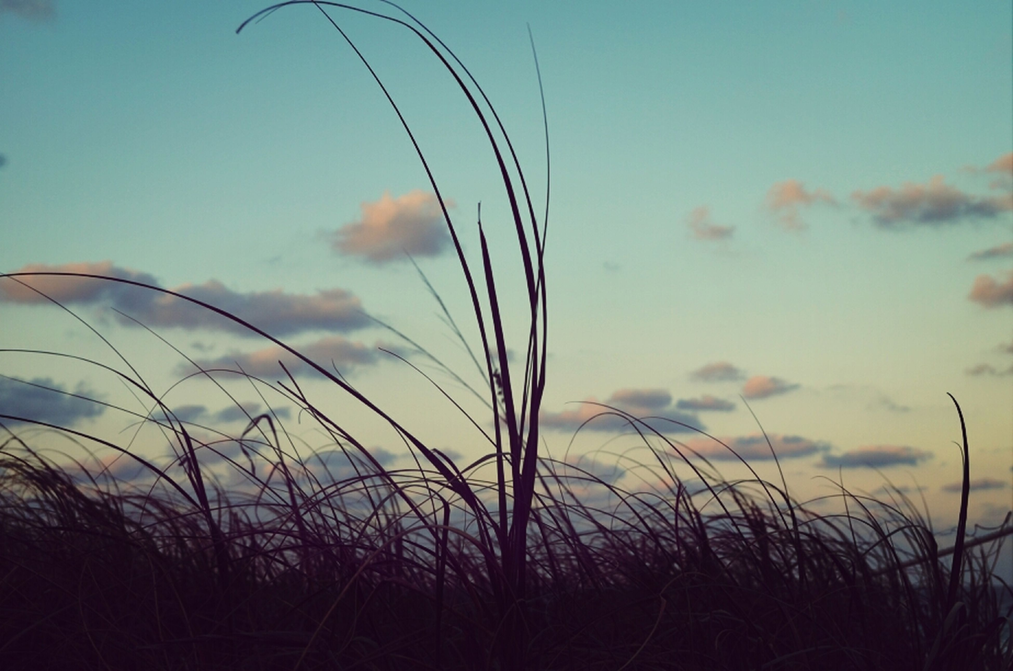 sky, sunset, field, tranquility, plant, silhouette, tranquil scene, nature, growth, beauty in nature, grass, scenics, rural scene, landscape, cloud - sky, cloud, dusk, agriculture, crop, cereal plant