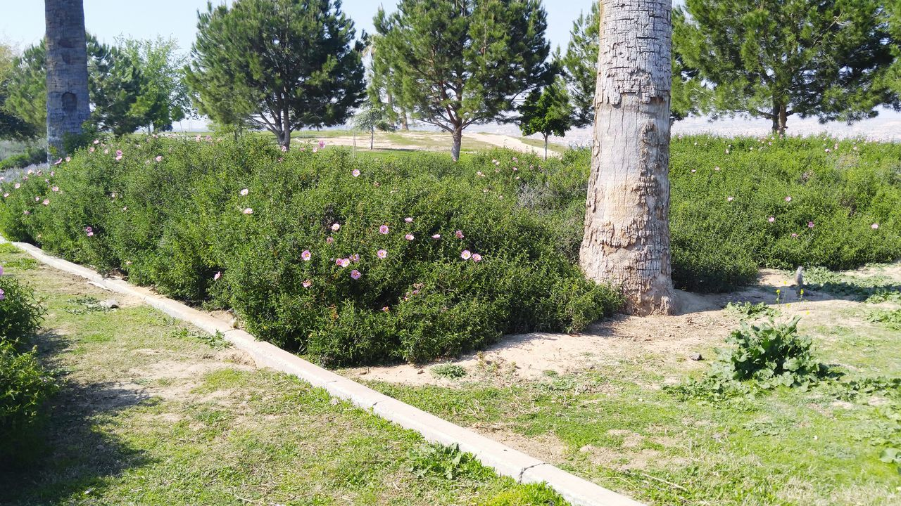 Thebluffs BakersfieldCA Kerncounty Spring Spring2016 Springtime Springhassprung Springblossoms Beaitiful Beautiful Colors Of Mother Nature Beautiful Day Nature Nature_collection Nature Photography Nature_perfection Pink Flowers Green Grass Trees