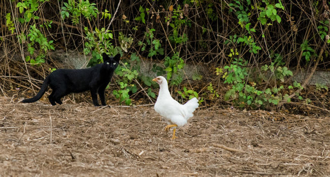 Animal Animal Themes Animals In The Wild Bird Cat Chicken Domestic Animals Nature Wildlife