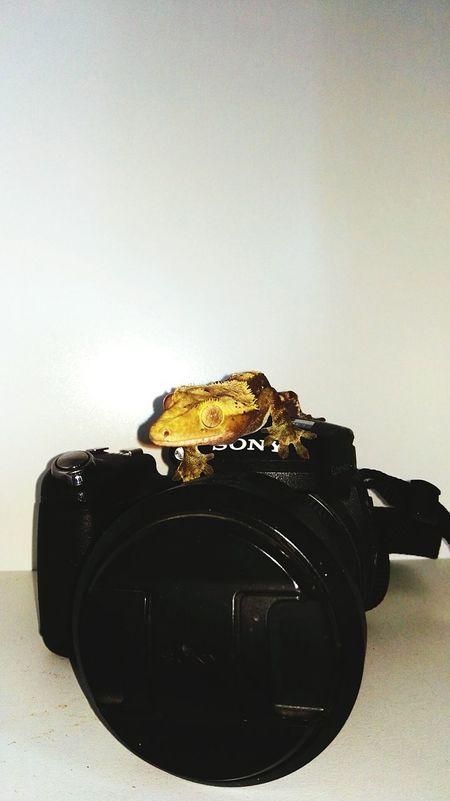 Ciliatus Gecko Reptil Cámara Camera - Photographic Equipment No People