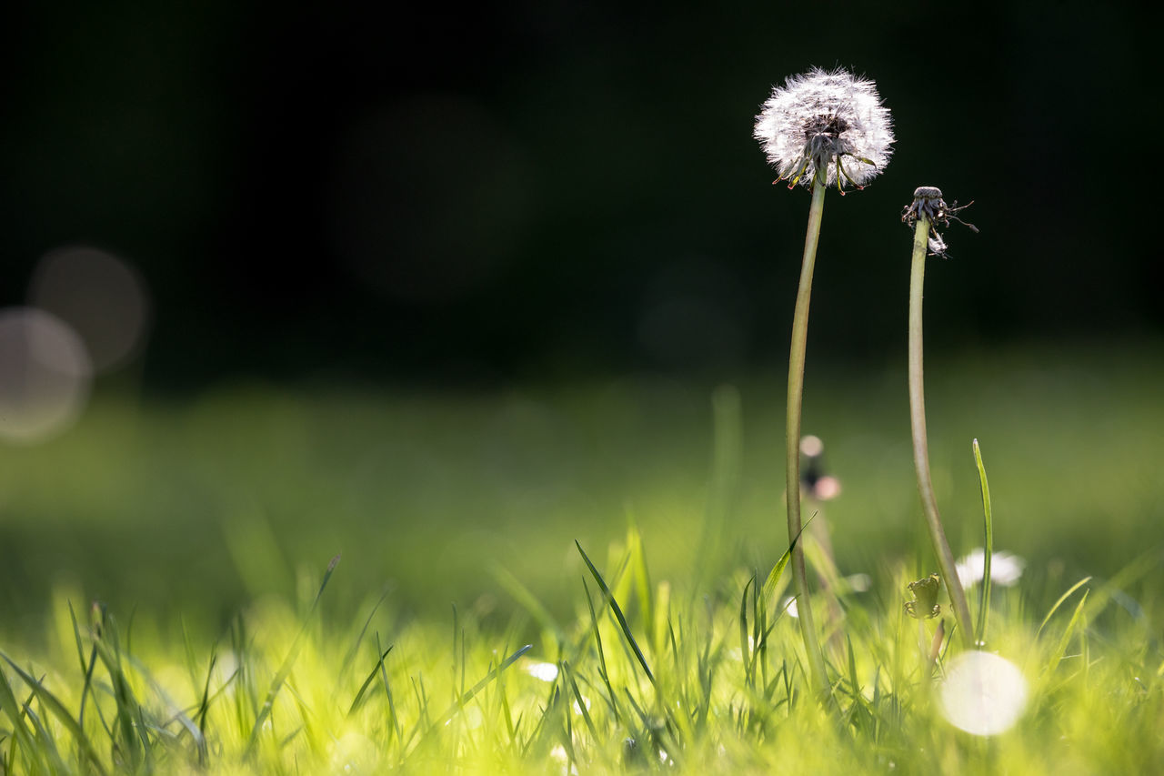Beauty In Nature Close-up Dandelion Day Field Flower Flower Head Fragility Freshness Grass Green Color Growth Landscape Meadow Nature No People Outdoors Plant Selective Focus Spring
