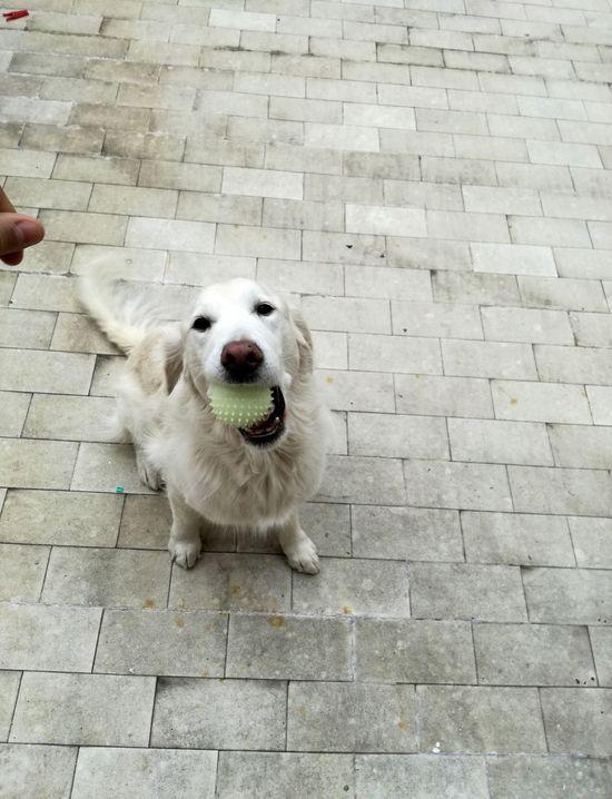 Animal Domestic Animals Dog Pets One Animal Animal Themes Mammal No People Day Portrait Outdoors Close-up Huaweip9lite Heydog Game Ball Ballgame Ballgames