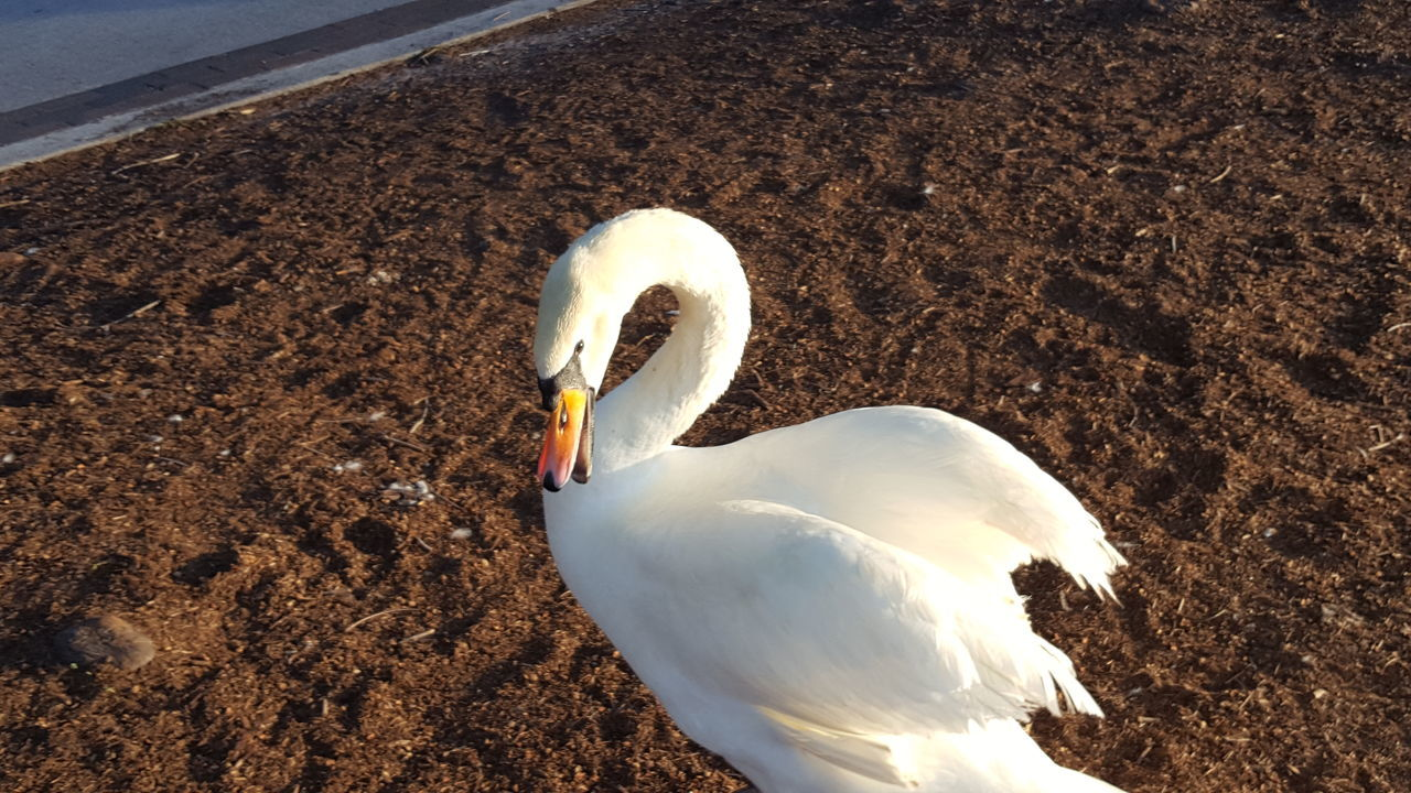 Hey... Back off buddy. Swans Funny Swan FUNNY ANIMALS Life Is Good Smile (:
