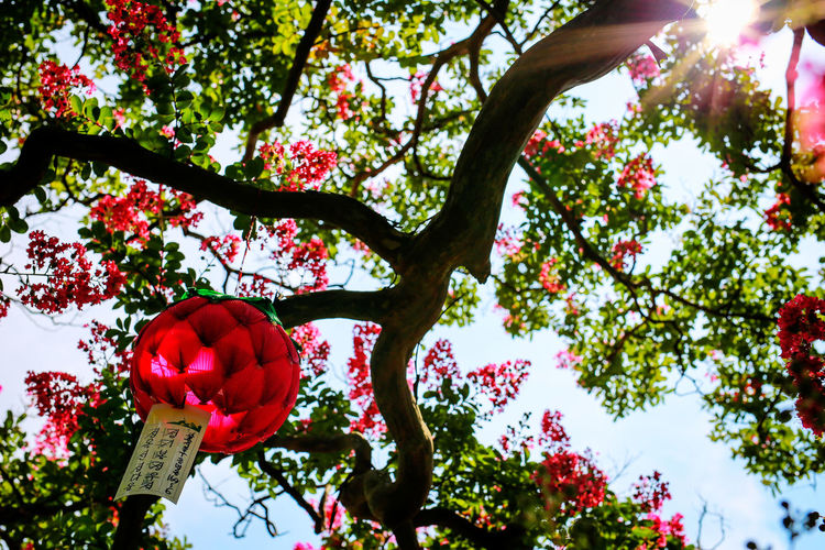 Korea Beauty In Nature Blooming Branch Buddhist Temple Close-up Day Flower Flower Head Fragility Freshness Fruit Growth Hwasun Lotus Lantern Low Angle View Manyeon Sa Nature No People Outdoors Petal Red Sky Tree