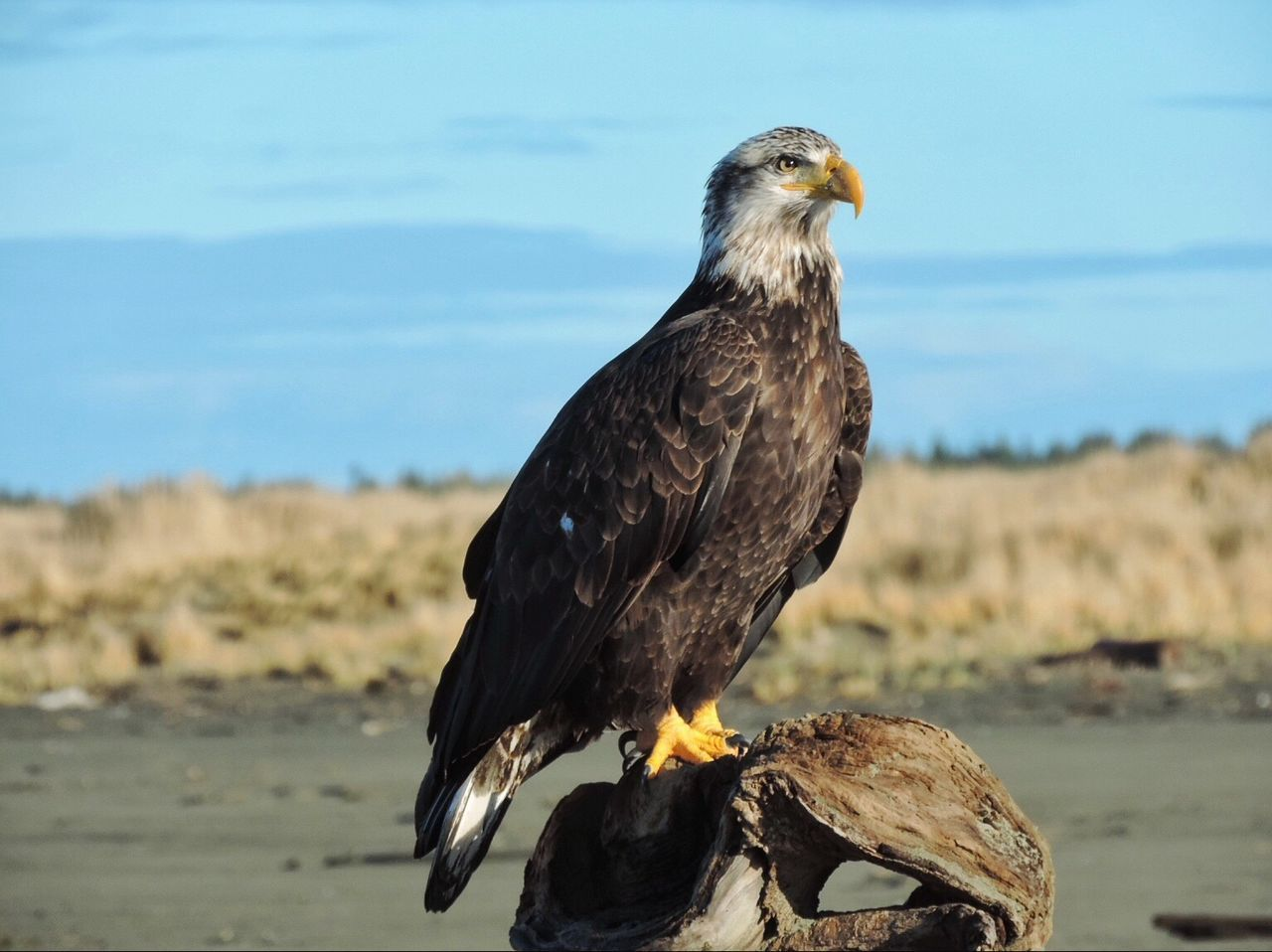 Beautiful stock photos of eagle, Animal Themes, Animals In The Wild, Bird Of Prey, Blue
