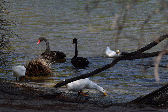 Black Swan Swimming Black Swans Ducks At The Lake Greece Skiathos Nature Nature Photography Skiathos_island Tranquility