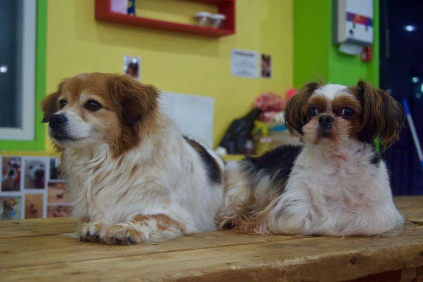 Animal Themes Cavalier King Charles Spaniel Day Dog Domestic Animals Indoors  Mammal No People Pets Shih Tzu