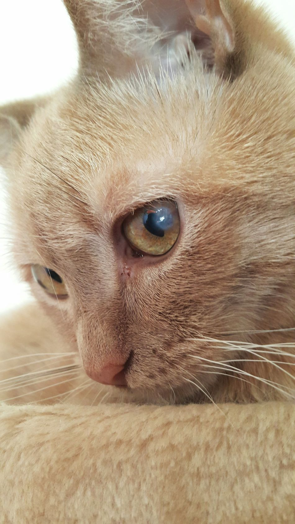 Rita❤ Cat Mycat Cats Of EyeEm Pets Feline One Animal Close-up Imperfectly Perfect Imperfection Is Beauty Mammal Domestic Cat Focus On Foreground Animal Eye Eye Domestic Animals No People Cat Eyes