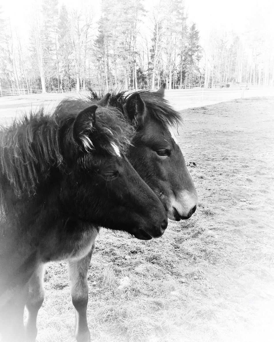 It is difficult to explain ones love for horses, it cannot be explained, it is simply felt! Source : http://www.coolnsmart.com/horse_quotes/. Domestic Animals Horse Animal Themes Mammal Tree Livestock Day One Animal Outdoors No People Nature Landscape Close-up Sky Fortheloveofblackandwhite Tadaa Community