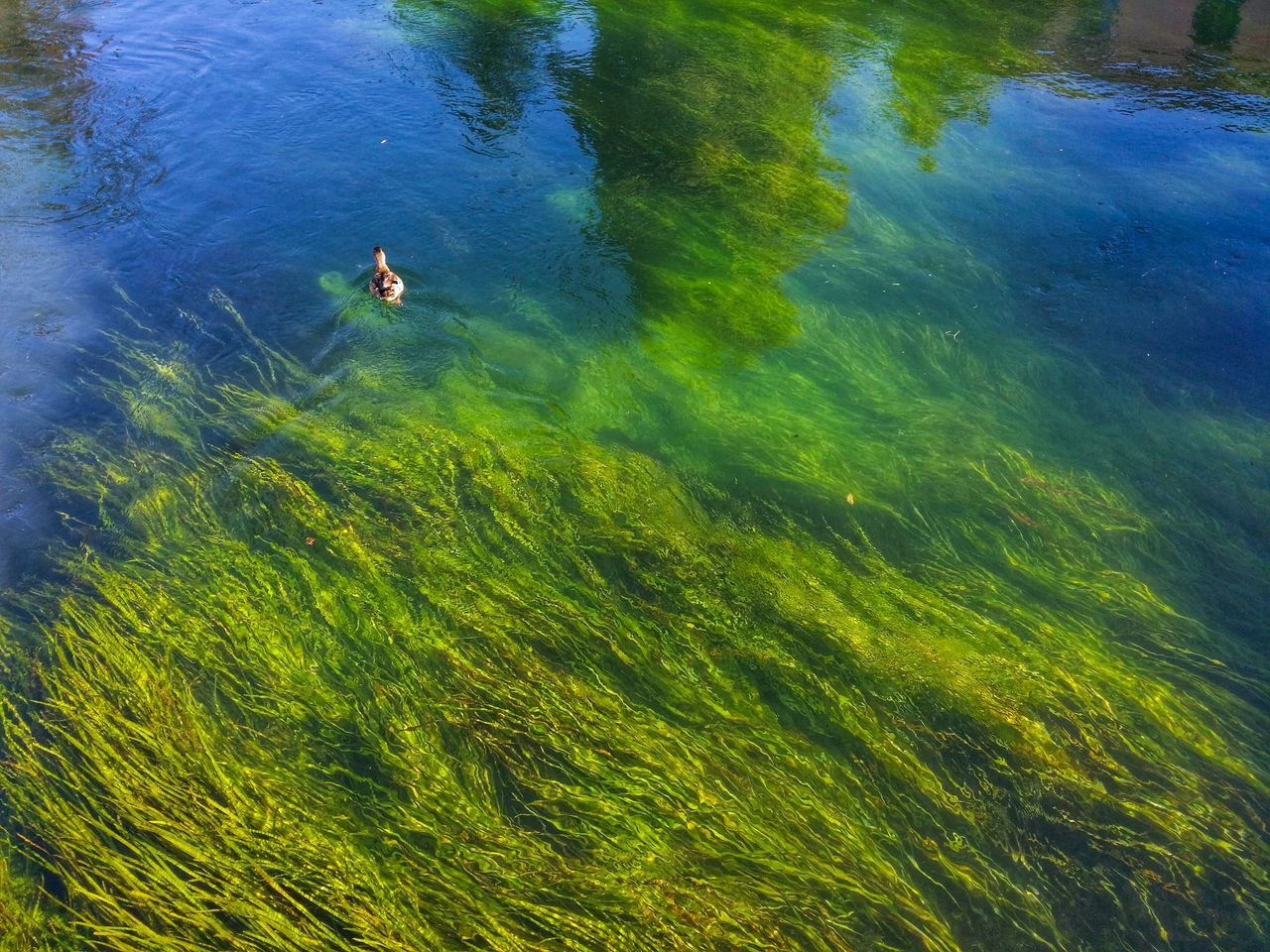 Paddling duck Travel Italy Treviso Mobile Photography Art Fineart Rivers Paddling Ducks Algae Reflections