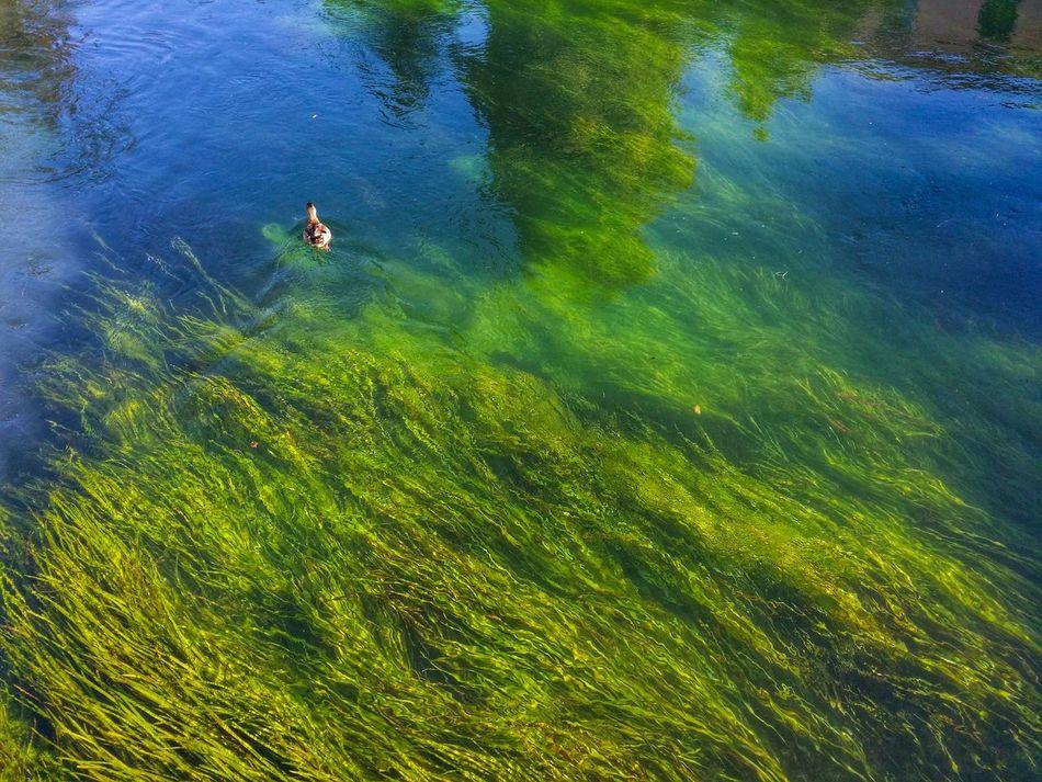 Paddling duck Travel Italy Treviso Mobile Photography Art Fineart Rivers Paddling Ducks Algae Reflections