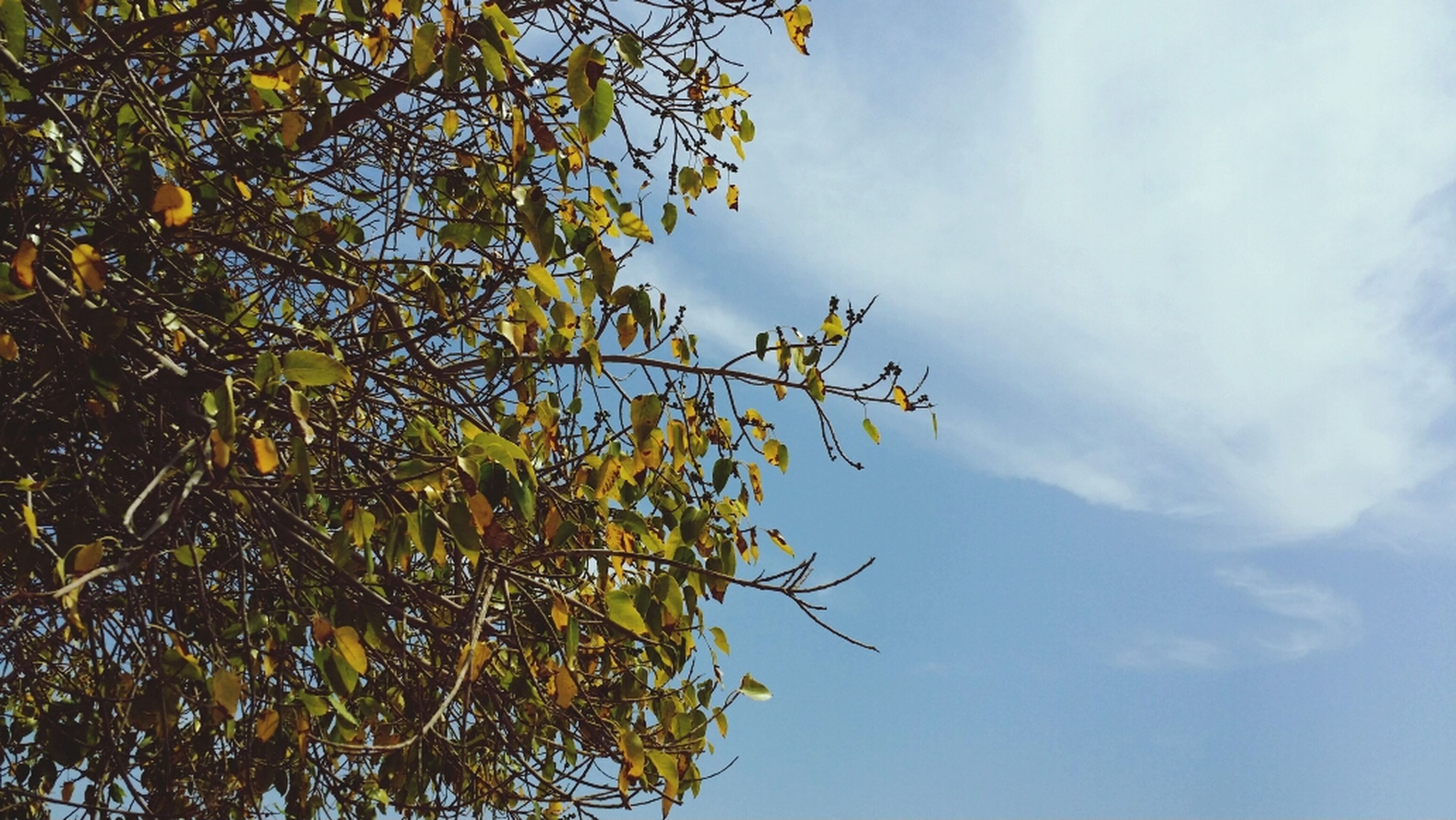 low angle view, tree, sky, branch, growth, nature, cloud - sky, tranquility, beauty in nature, leaf, cloud, scenics, day, outdoors, no people, cloudy, tranquil scene, sunlight, green color, idyllic