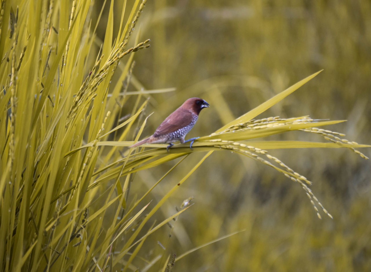 Beauty In Nature Bird Grains Plant Nature Outdoors Plant Sparrow Tall Grasses