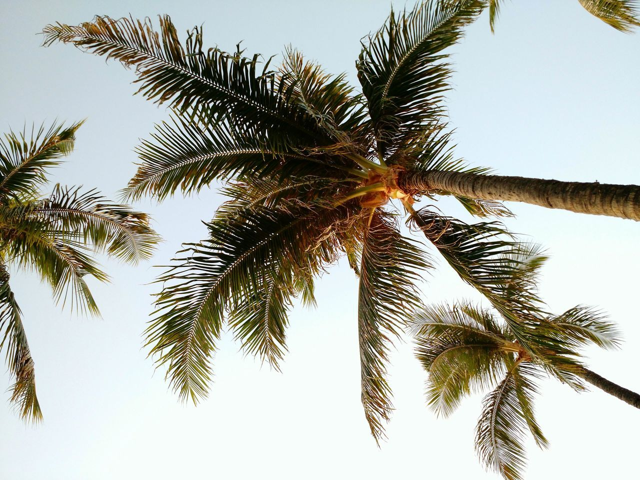 Beach life Low Angle View Palm Tree Growth Tree Scenics Tree Trunk Leaf Branch Beauty In Nature Nature Sky Tranquility Clear Sky Tranquil Scene Tall - High Day Palm Leaf Outdoors Tall Sun Beach Life Beach Umbrella Mauiphotography