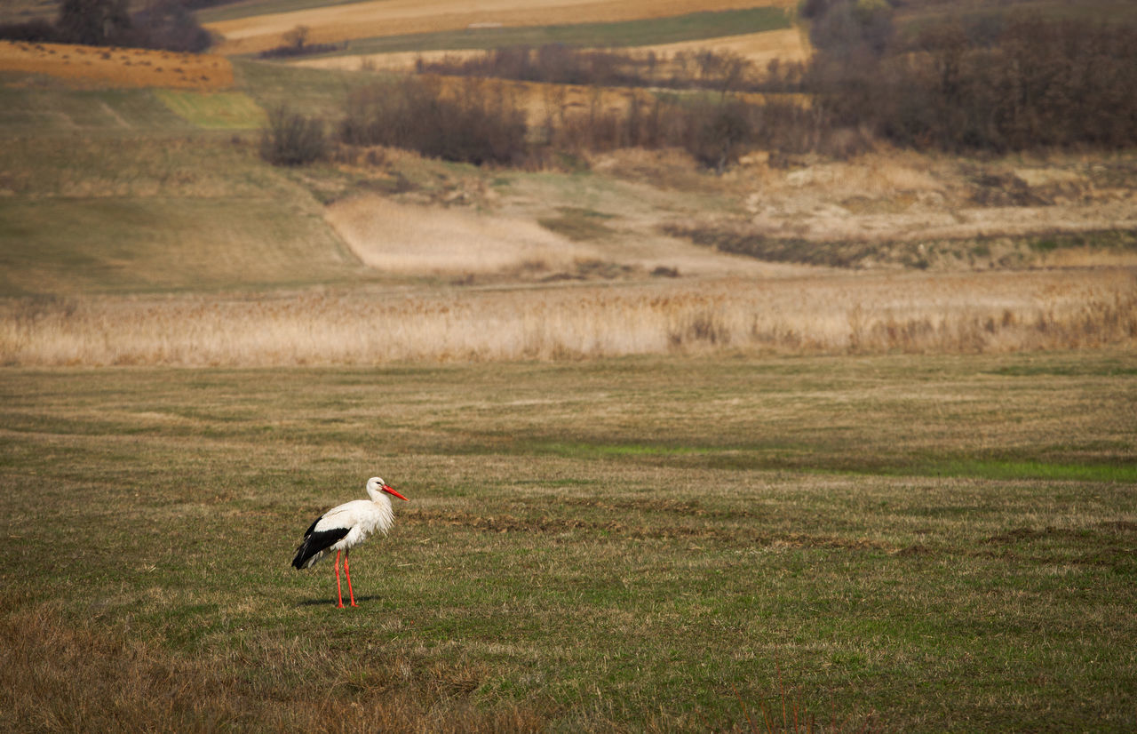 White Stork On Grassy Field