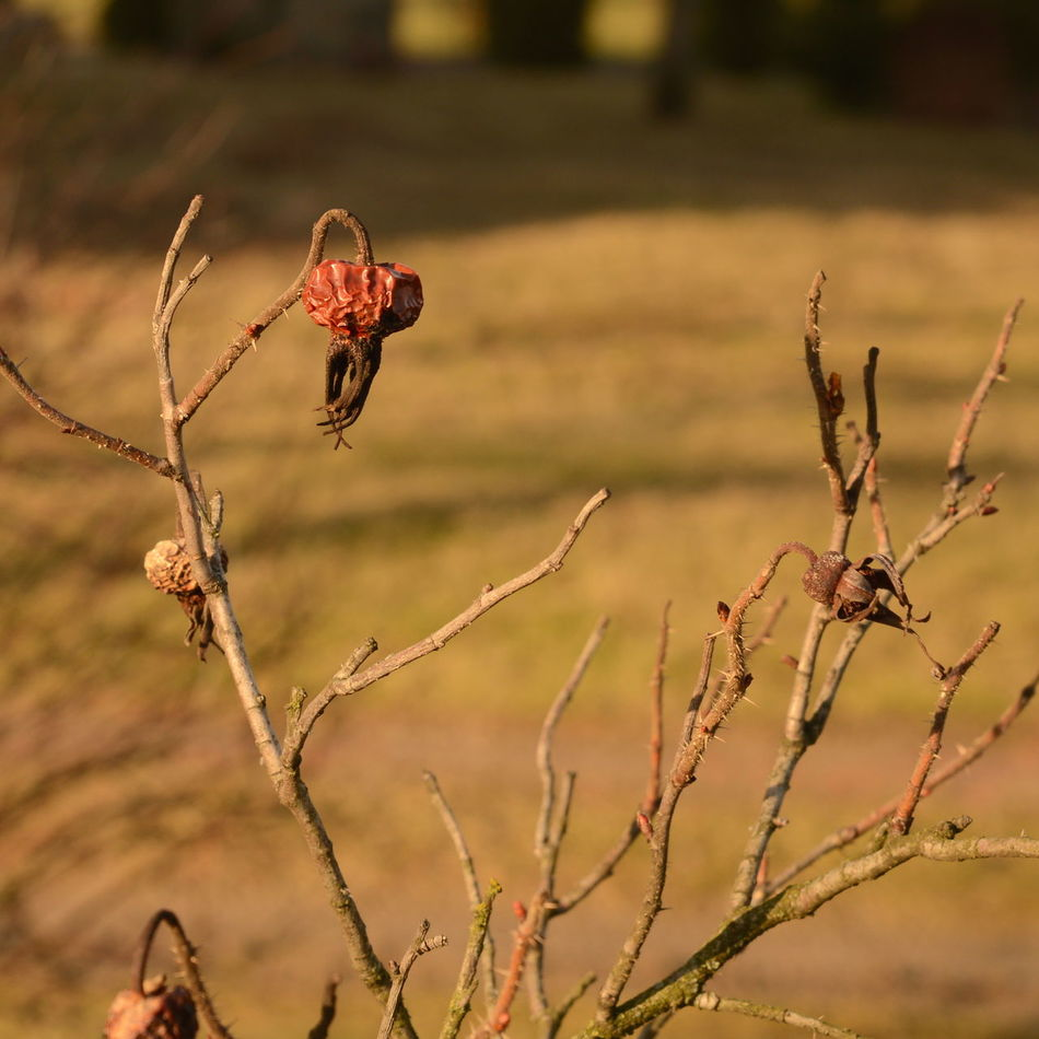 Withered Rose Hip Beauty In Nature Branch Close-up Day Dried Plant Focus On Foreground Grass Landscape Nature No People Outdoors Plant Rose Hips Wilted Plant Winter