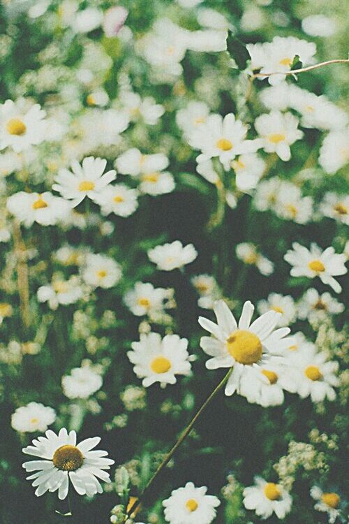 Love this flowers DaisyFlowers
