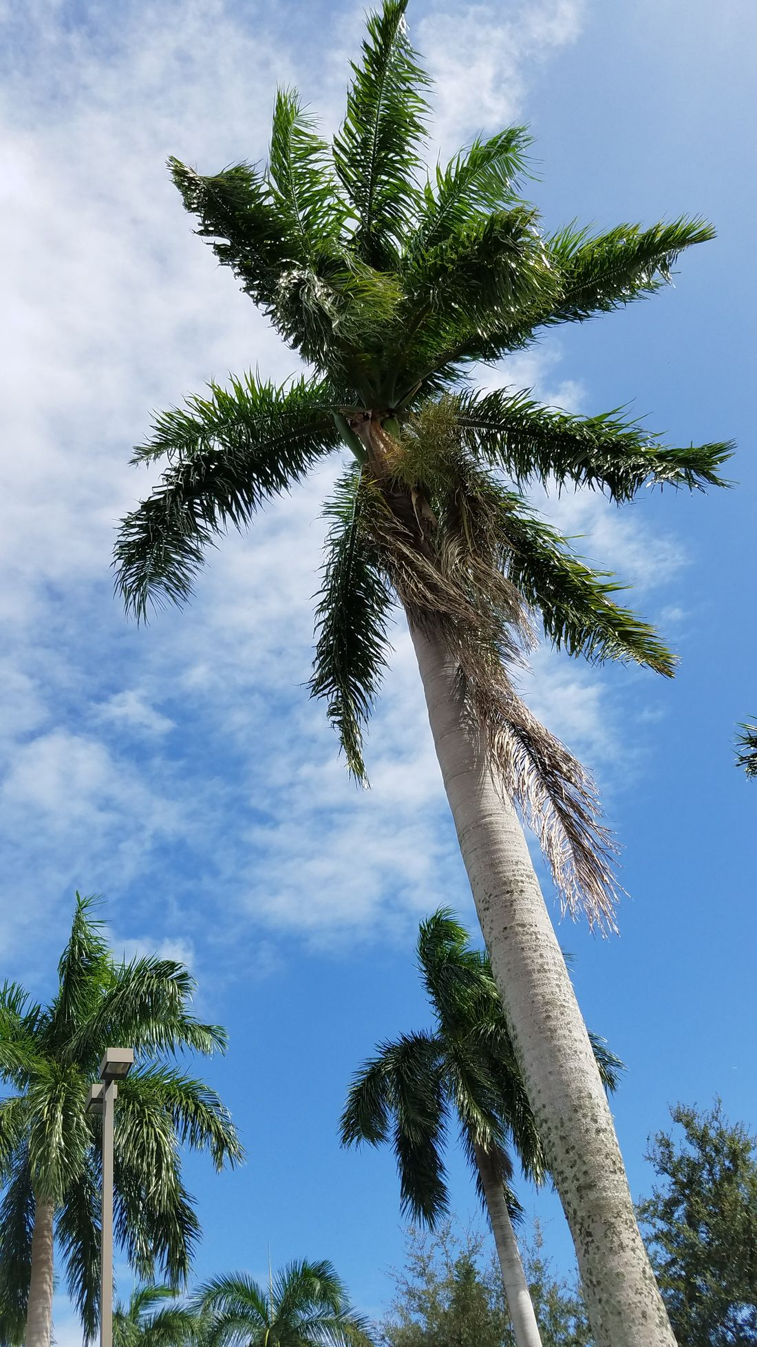 South Florida Florida Skies Low Angle View Tree Growth Sky Palm Tree Blue Tree Trunk Tranquility Nature Photography Nature Scenics Branch Tranquil Scene Beauty In Nature Cloud Tall - High Day Cloud - Sky Treetop Outdoors Green
