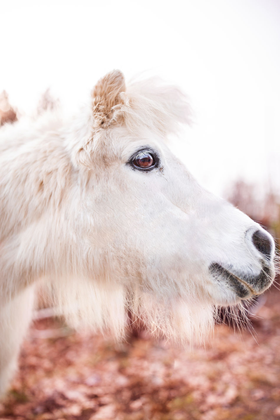 Agriculture Animal Themes Close-up Equinephotography Horse Nature No People One Animal Pony Shetland Pony