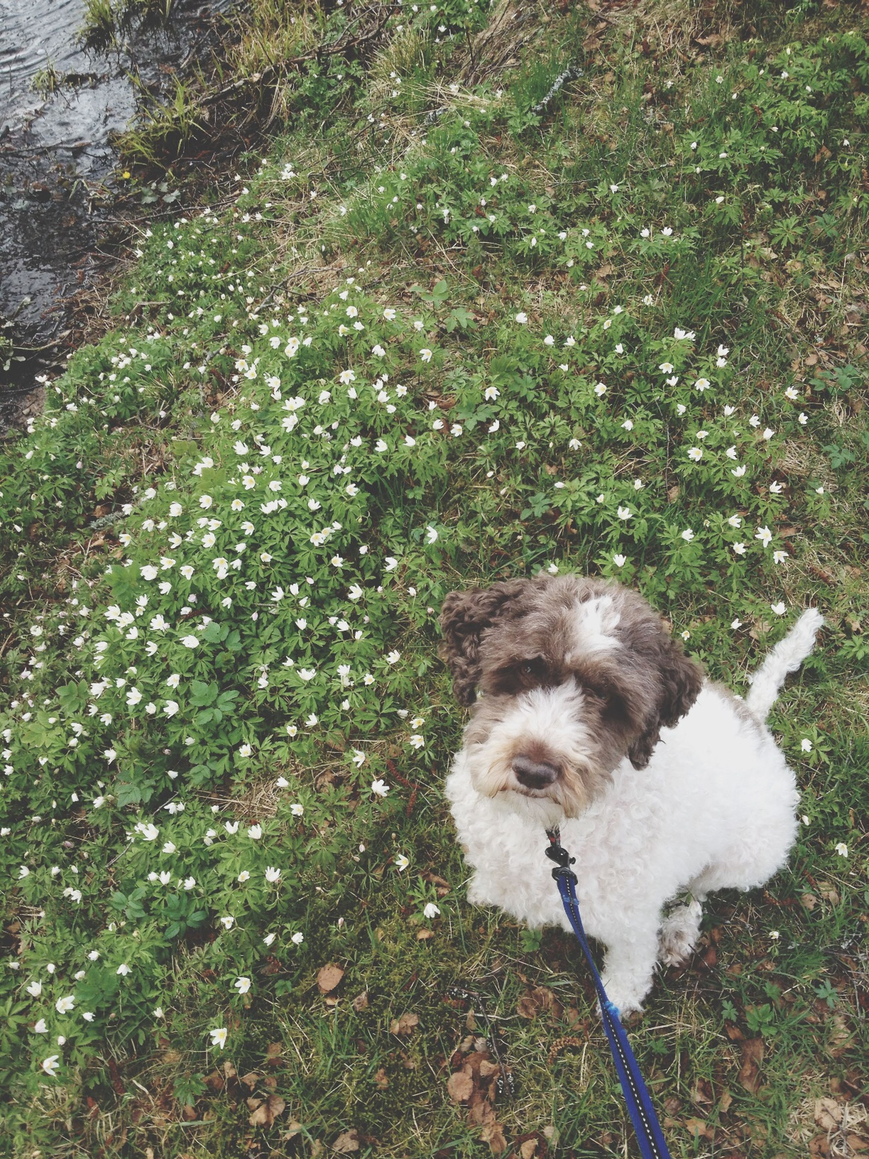 animal themes, domestic animals, mammal, dog, pets, one animal, grass, high angle view, white color, field, nature, day, grassy, plant, outdoors, no people, full length, growth, two animals, standing