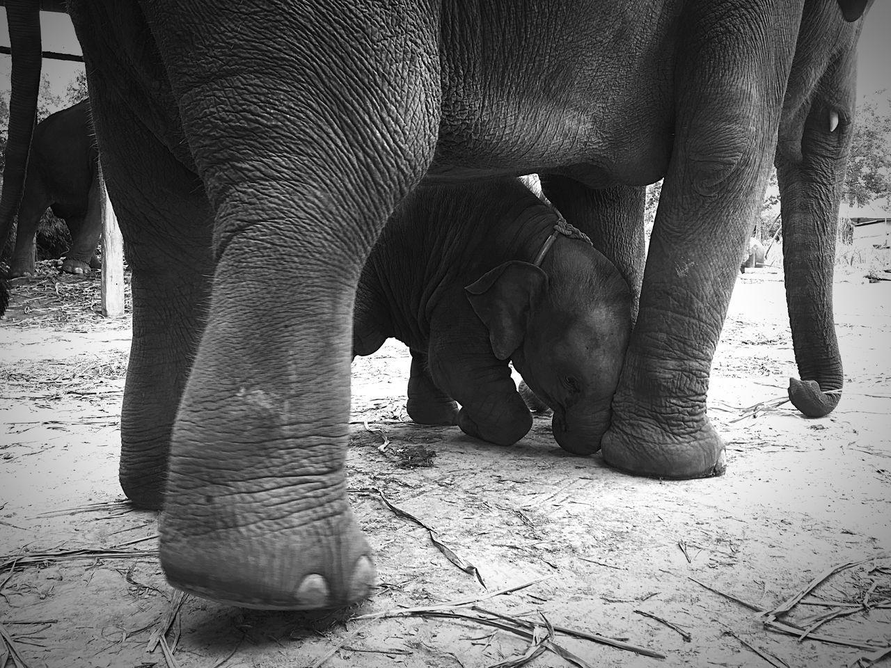 fell down to mommy feet Elephant