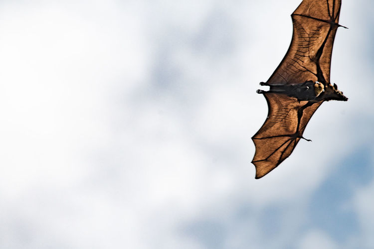 Daytime Bats Of Sri Lanka Airtime Bat Bat In The Day Batman Beauty In Nature Botanical Gardens Carrying Child Day Daytime Flying Flying High Fruit FruitBats High Mammal Nature No People Nocturnal Outdoors Real Bat Sky Soaring Treetops Wing Veins Wingspan EyeEmNewHere