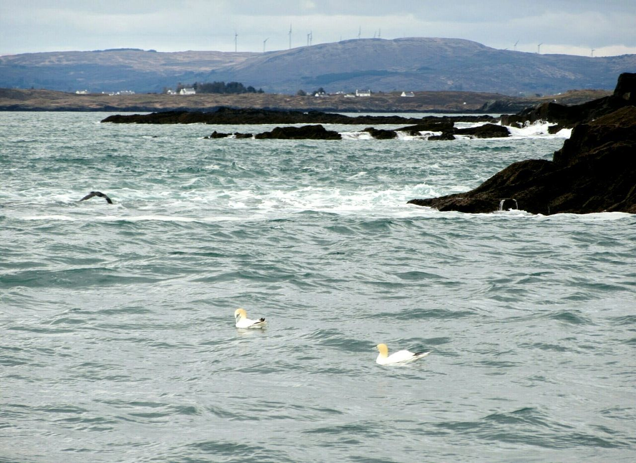 Yellow headed gannets Gannets Seabirds Rocky Coastline Islands Waves Breaking On Rocks Mountains In Background Wind Farm Roaringwater Bay West Cork Wildatlanticway Ireland