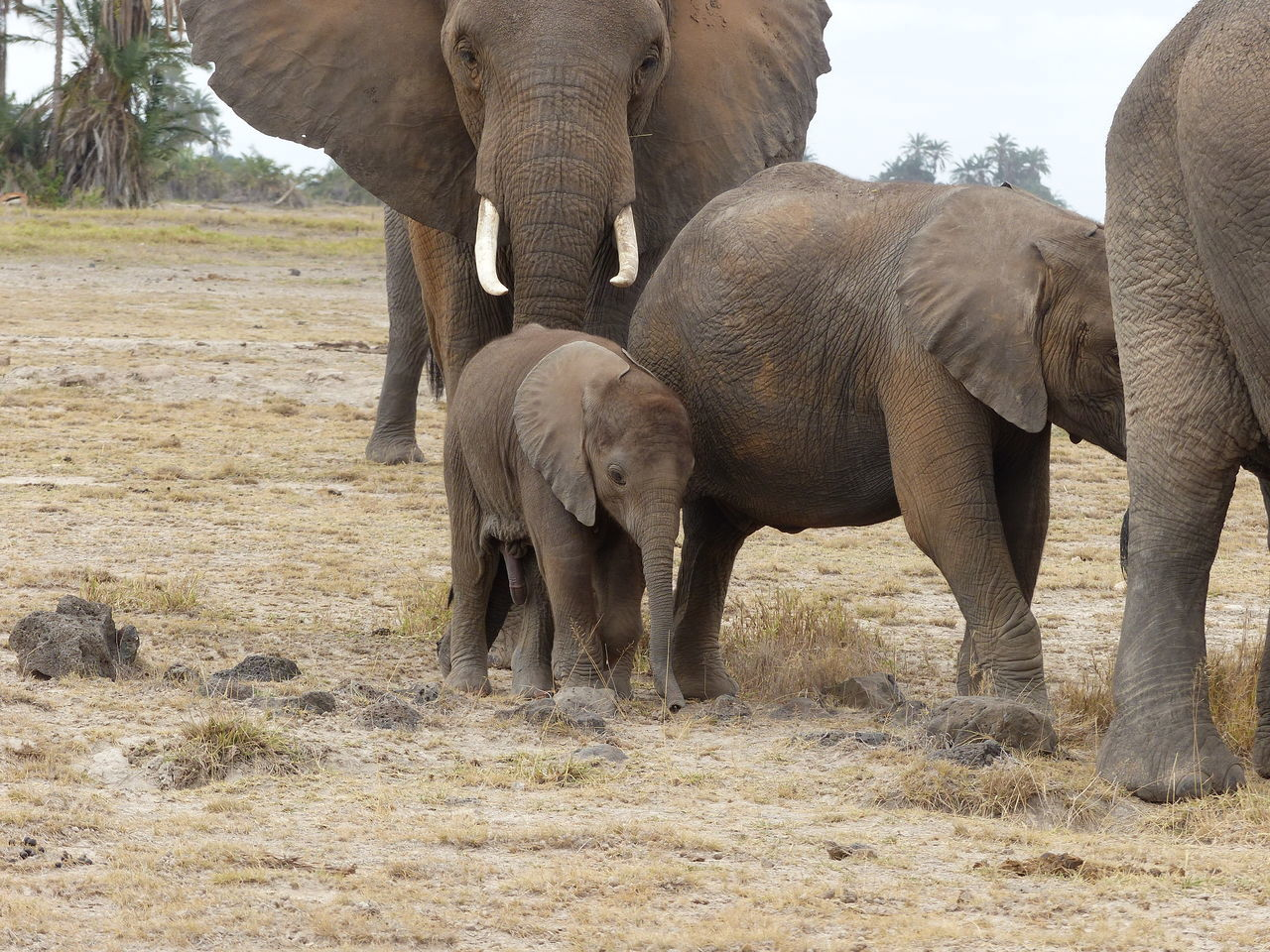 animals in the wild, elephant, animal themes, mammal, young animal, animal wildlife, safari animals, day, togetherness, animal family, field, african elephant, nature, elephant calf, no people, outdoors, landscape, tusk, grass, tree, animal trunk