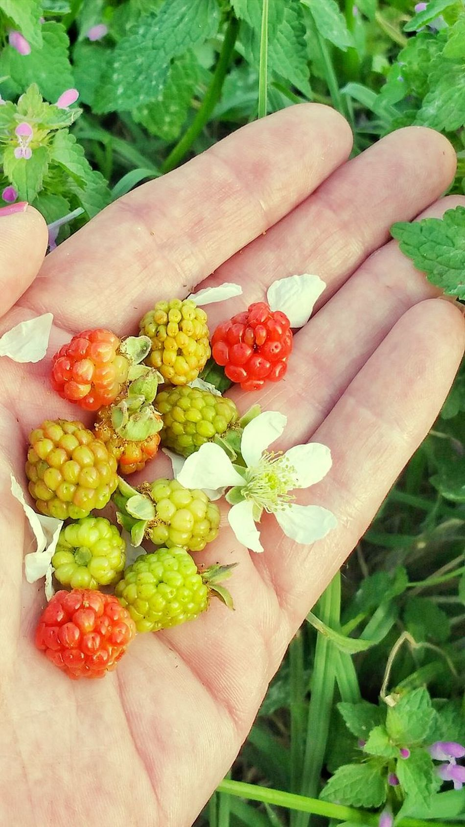 Human Hand One Person Holding Close-up Leaf Healthy Eating Fruit Freshness Outdoors Backgrounds Blackberry Dew Berries Variation Unripe Palm Room For Text Wild Blackberries Berry Fruit Freshness Flower Multi Colored High Angle View Room For Copy Lifestyles Beauty In Nature