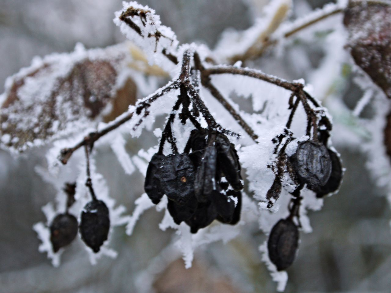 Beauty In Nature Branch Close-up Cold Temperature Day Frozen Frozen Fruits Ice Ice Crystals Nature No People Outdoors Snow Tree Water Weather Winter